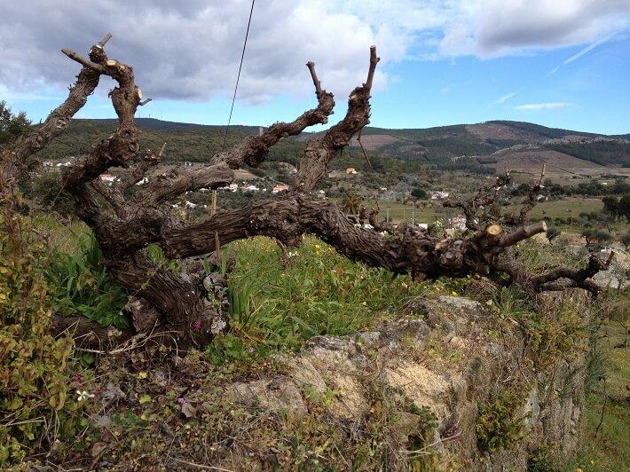 the-wines-of-joao afonso João Afonso Da Escrita ao Vinho: Parte 1 – Os Vinhos de João Afonso the wines of joao afonso4