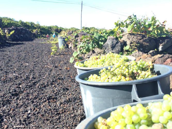 Blend_All_About_Wine_Antonio_Macanita_Pico_Harvest