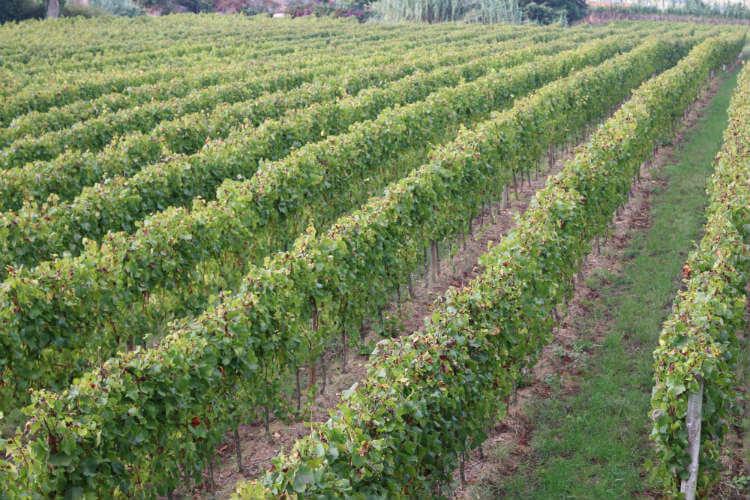 Blend_All_About_Wine_Vineyards «Vinhos de Quinta» «Vinhos de Quinta» Blend All About Wine Vineyards