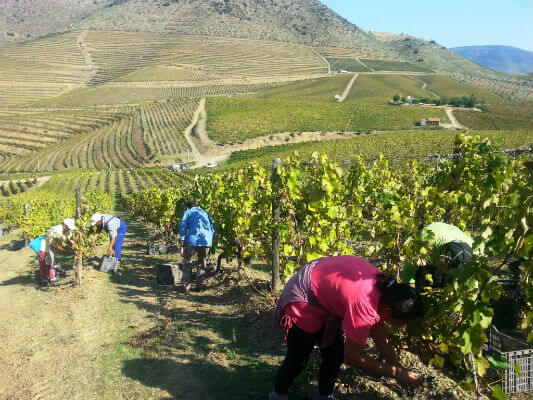Harvest at Leda Credit Sarah Ahmed