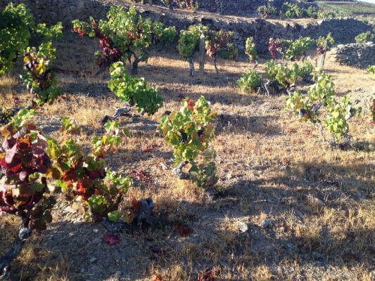 vineyard red photo IMG_4699