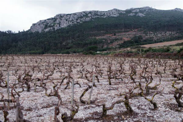 The Pedra vineyard plateau at 350 m altitude heading North  80 year old vines in limestone gobelet of Vital