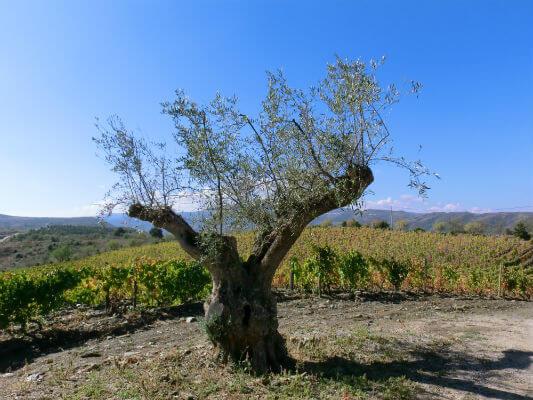 Blend-All-About-Wine-Quinta-de-Touriga-The-vineyar-2d quinta da touriga-chã Quinta da Touriga-Chã, a plenitude do Douro Superior... Blend All About Wine Quinta de Touriga The vineyar 2d