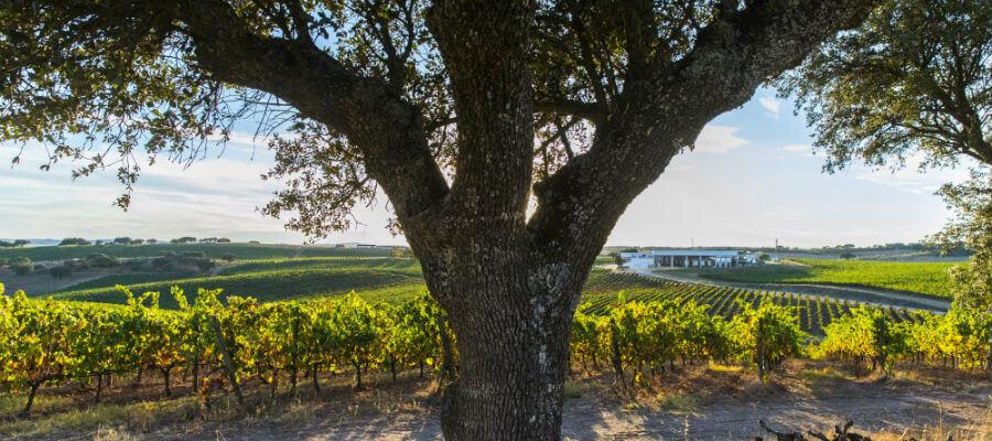 Blend-All-About-Wine-Herdade-da-Farizoa-Vinhas-Arvores herdade da farizoa Os tintos da Herdade da Farizoa Blend All About WineHerdade da Farizoa Vinhas Arvores