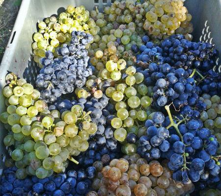 Blend-All-About-Wine-Casa da Passarella-Harvesting-day-Centenary-Grapes