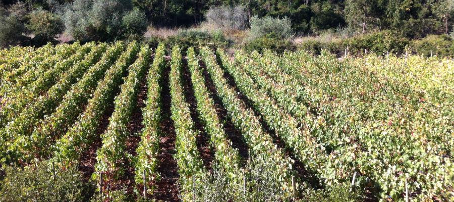 Blend-All-About-Wine-Escondido 2012-A Lisbon Gentleman-Vineyard
